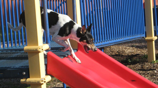 Dog going down a slide