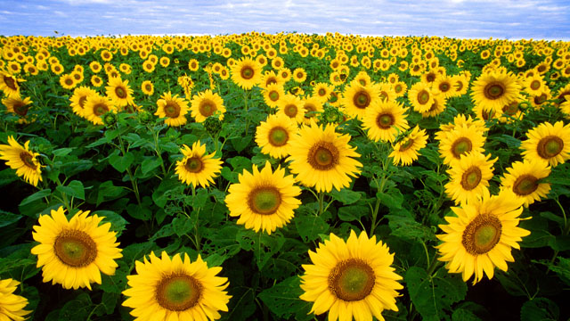 The origin of sunflowers, and how they got their name.